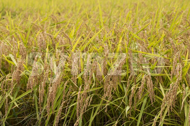 Closeup of golden yellow short grain paddy rice ready for harvest