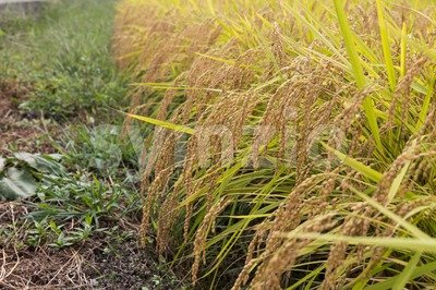 Closeup of golden yellow paddy rice ready for harvest Stock Photo