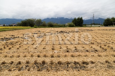 Brown paddy rice field after harvest Stock Photo
