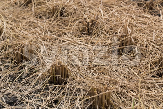 Closeup of brown paddy stems after harvest Stock Photo