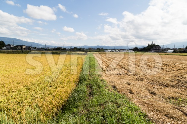 Comparison between golden paddy rice against barren brown harvested field Stock Photo