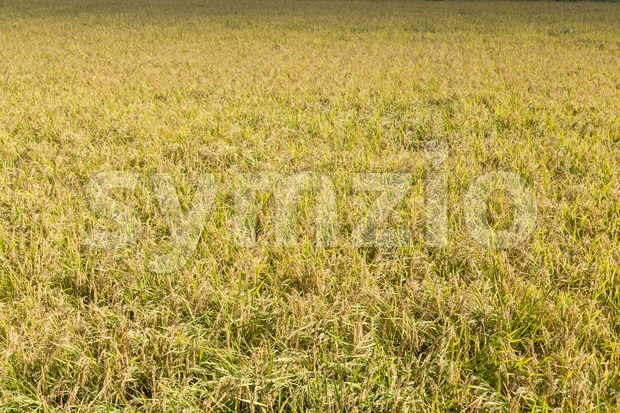 Golden yellow short grain paddy rice field ready for harvest