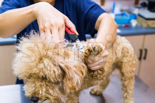 Vet trim cut groom dog nails at clinic