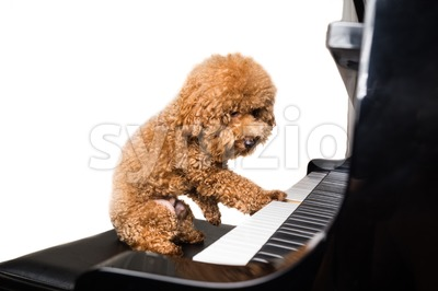 Concept of cute poodle dog playing piano in white background Stock Photo