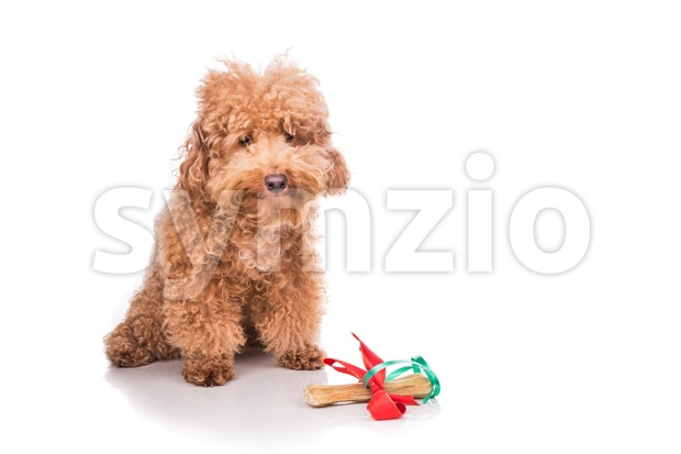Dog with Christmas gift bone wrapped in ribbon Stock Photo