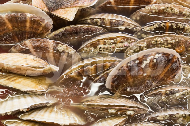 Closeup of fresh scallop sea shell at market Stock Photo
