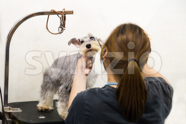 Groomer trim groom pet dog with scissor in salon Stock Photo