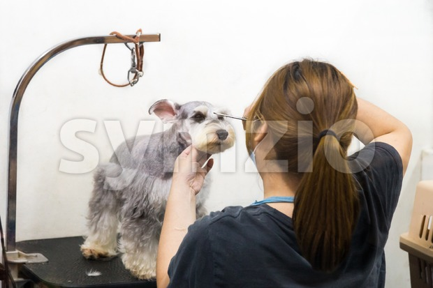 Groomer trim groom cute pet dog with scissor in salon