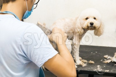 Groomer trim groom pet dog with comb in salon Stock Photo