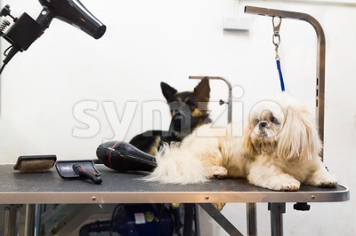 Dogs on grooming salon table ready to be groomed Stock Photo