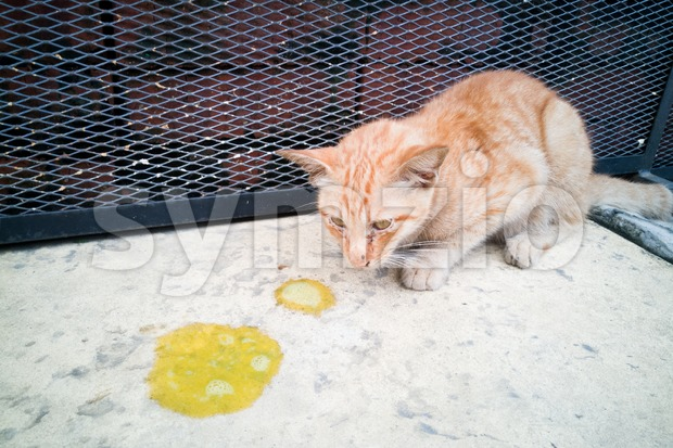 Sick ill pet cat with vomit on floor Stock Photo