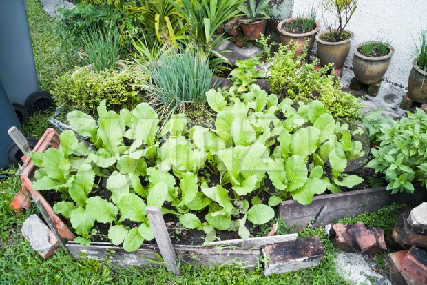 Healthy organic vegetable farming within small home garden in Asia