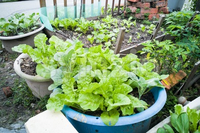Healthy organic vegetable farming at home small garden Stock Photo