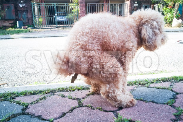 Pet poodle dog pooping on street Stock Photo