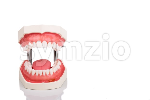 Dentist orthodontic teeth model with jaw opened on white background
