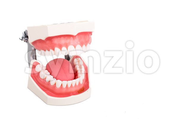 Dentist orthodontic teeth model with focus on lower teeth on white background