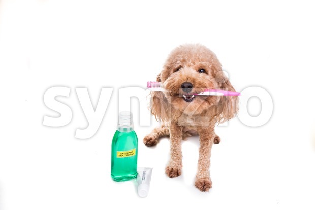 Pet dog holding toothbrush with toothpaste and mouthwash oral care Stock Photo
