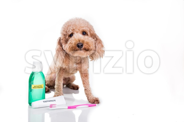 Pet dog with toothbrush, toothpaste and mouthwash oral care conncept Stock Photo