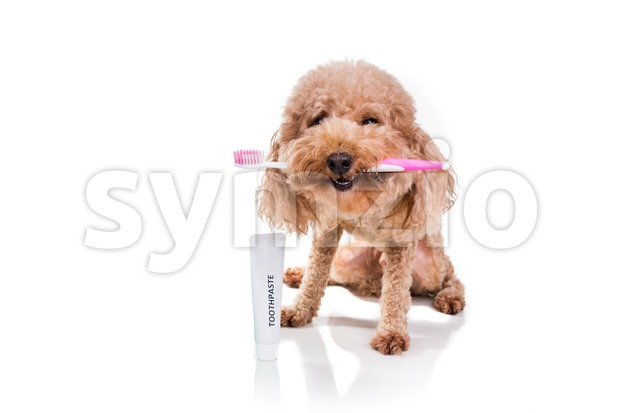 Conceptual of pet dog holding toothbrush with toothpaste for oral care hygiene