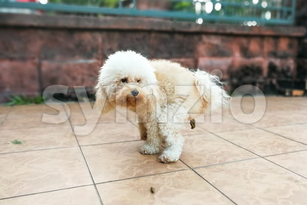 Pet poodle dog pooping within house compound Stock Photo