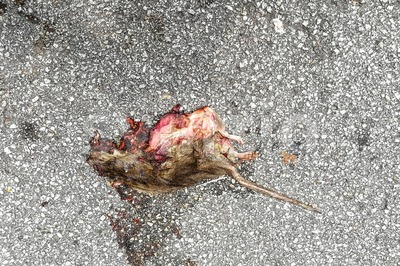 Rat mouse dead flattened crushed on road Stock Photo