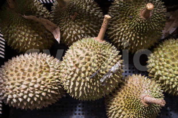 Heap of fresly harvested Musang King durian variety at orchard