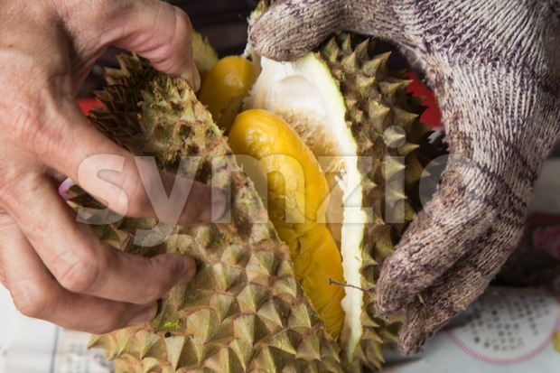 Hand force opening musang king durian variety  with yellow flash Stock Photo