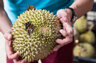 Hand holding freshly harvested musang king durian variety Stock Photo