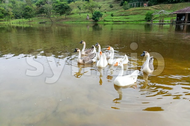Flock of domestic geese swimming in lake Stock Photo