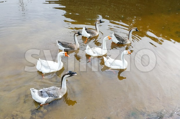 Flock of domestic geese swimming in serene lake