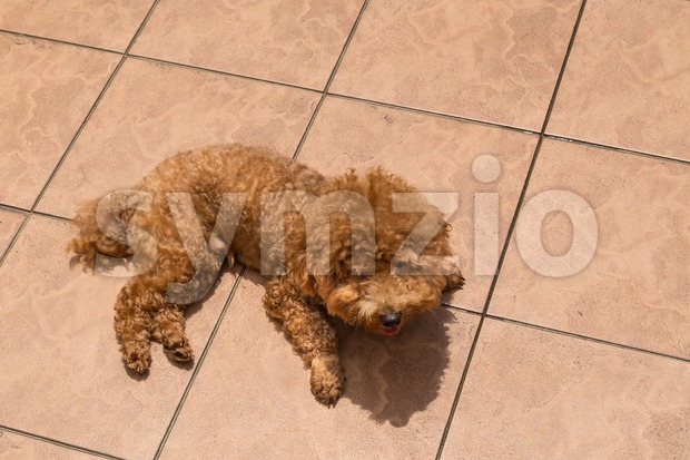 Poodle dog enjoying her relaxing sun bathing at home possibly as therapy to relieve skin itch