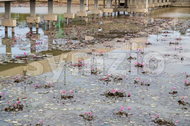 Dirty polluted pond with dying water lily plant Stock Photo
