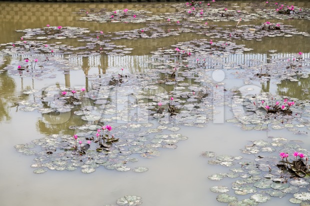 Dirty polluted pond with dying lotus water plant Stock Photo
