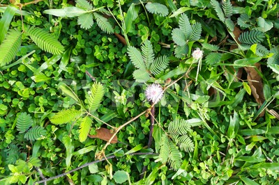 Shameplant or mimosa pudica growing between grass Stock Photo