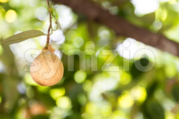 Close-up of freshly harvested nutmeg mace seed being dried under the sun