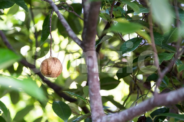 Close-up of fresh nutmeg mace seed being dried under sun Stock Photo
