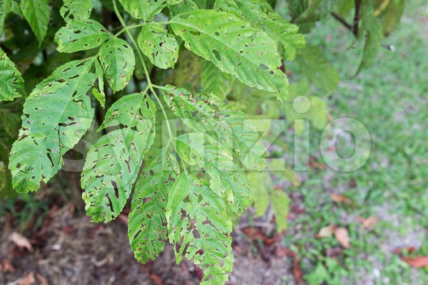 Tree leafs with holes with bites from insects, parasite, worms, snails Stock Photo