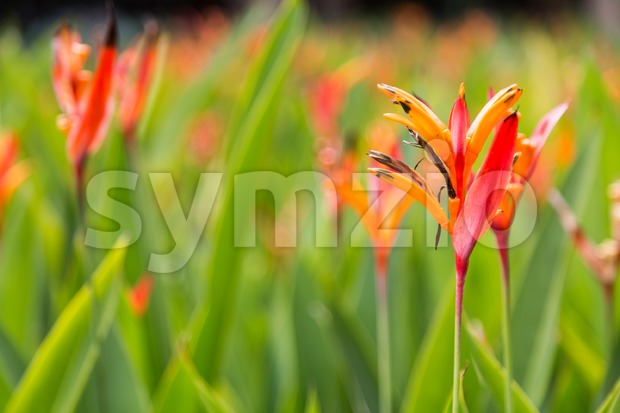 Birds of Paradise flower and plant, thrives in tropical climate Stock Photo
