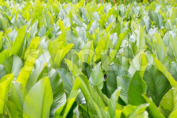 Lush fertile green leafs in tropical garden Stock Photo