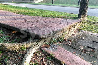 Tree with big roots destroy broke damage walkway pavement Stock Photo