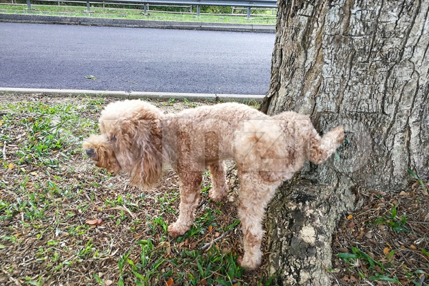 Male poodle dog pee on tree trunk to mark territory Stock Photo