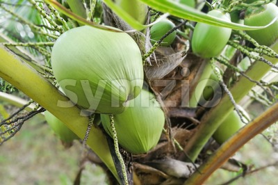 Small healthy baby coconut fruits growing from stem Stock Photo