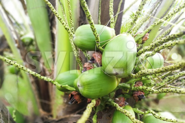 Small healthy baby coconut fruits growing from stem of tree