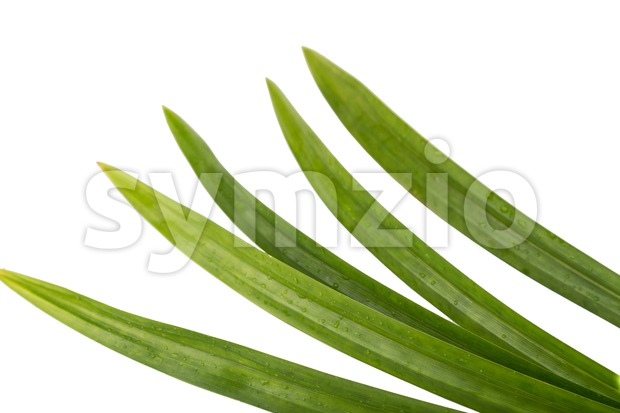 Pandan leaf, a fragrant leaf used regularly as an ingredient in Asian cooking and baking
