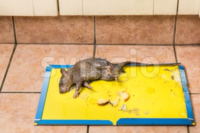 Rat captured on disposable glue trap board on kitchen floor Stock Photo