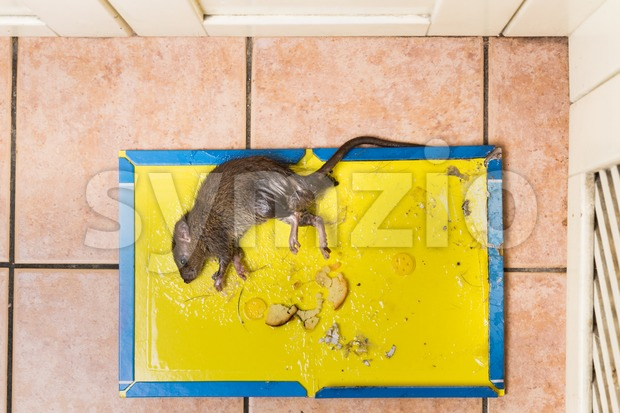 Overhead shot of dirty rat captured on effective and convenient disposable non-toxic glue trap board with bait set on kitchen ...