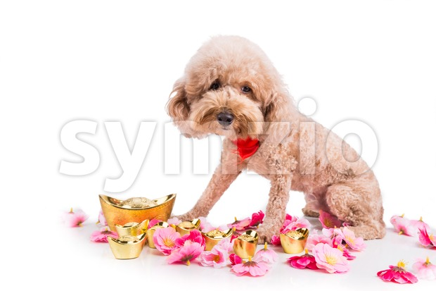 Dog in Chinese New Year festive setting in white background. 2018 is year of the dog in Chinese lunar zodiac ...