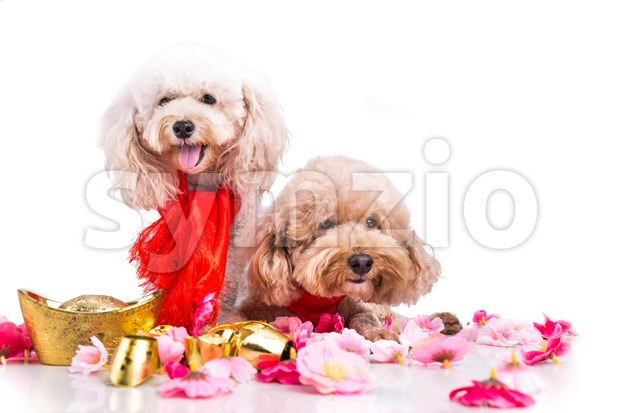 Two dogs in Chinese New Year festive setting white background Stock Photo