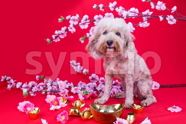 Dog in Chinese New Year festive setting in red background Stock Photo