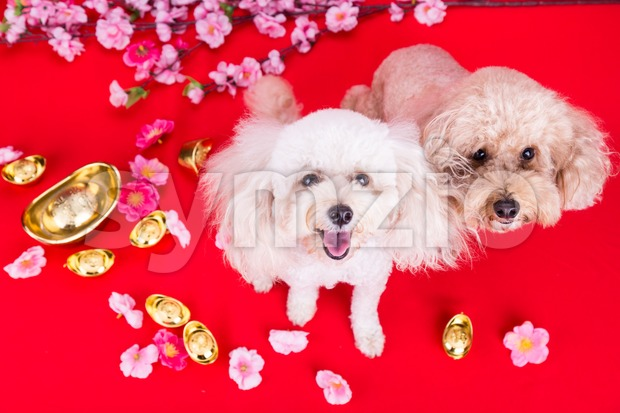 Dog in Chinese New Year festive setting in red background. 2018 is year of the dog in Chinese lunar zodiac ...